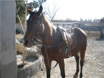 فروش یک راس اسب سیلمی تروبرد خالص