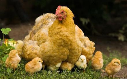 فروش-جوجه-مرغ-بومی-رنگی-اصلاح-شده
